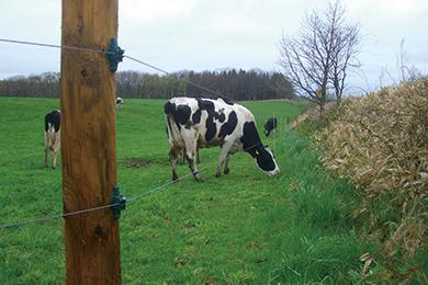 houboku_cow_image_electric_fence01